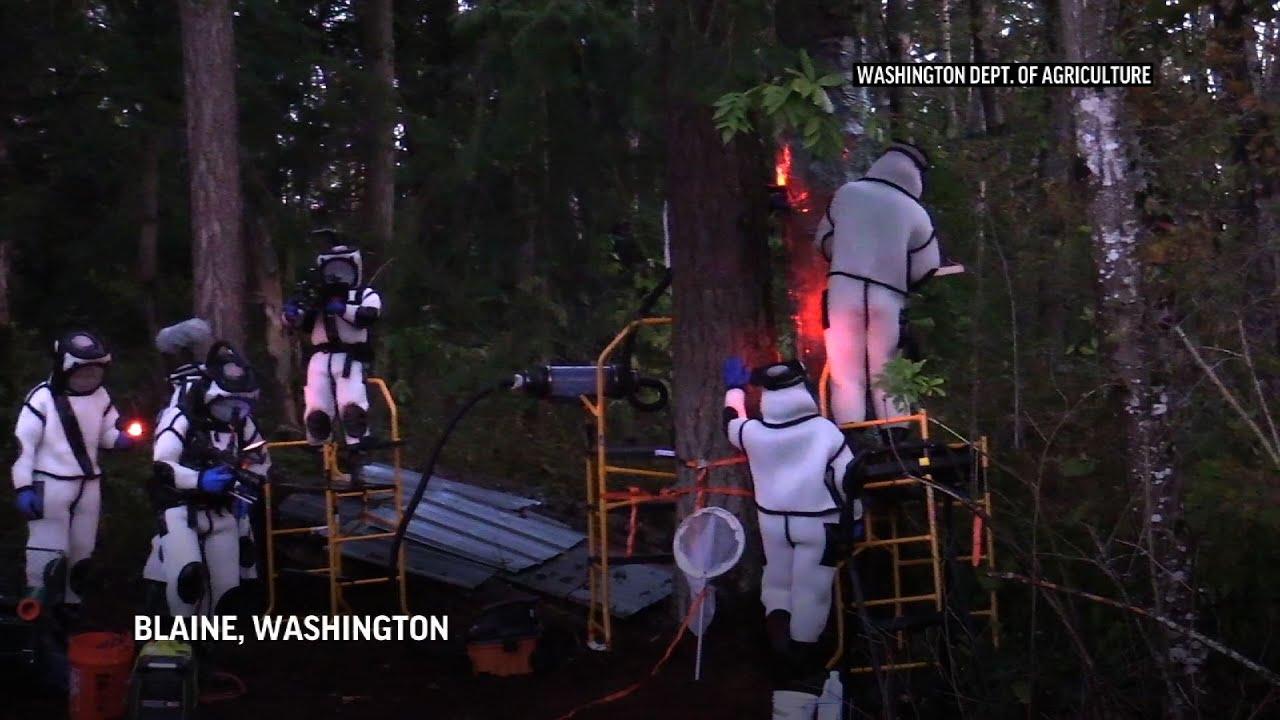 Wash. state scientists remove 98 'murder hornets'