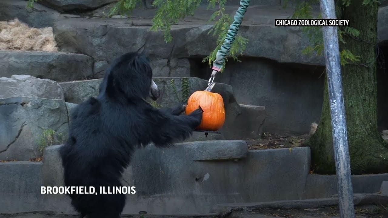 Zoo animals in Illinois get Halloween treats