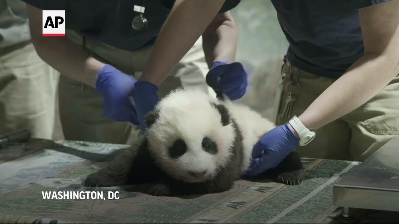 Cachorro de panda ya tiene nombre