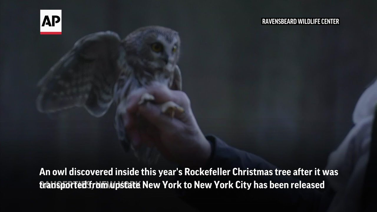 Christmas tree owl released into the wild