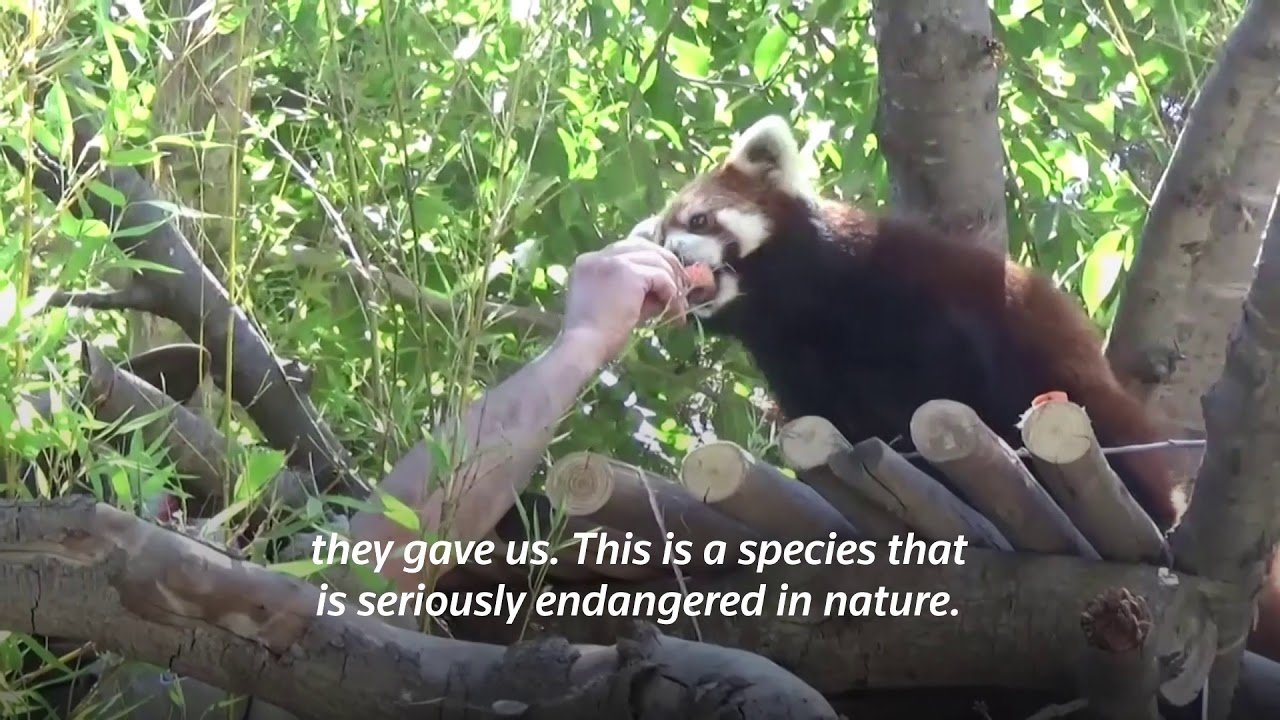 Quick Cut: Chilean zoo welcomes two red pandas