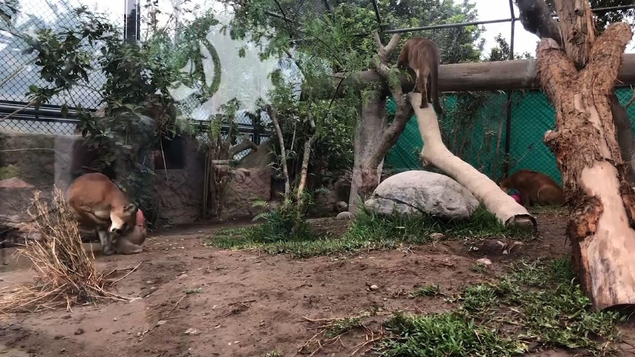Christmas comes early for the animals at Lima zoo