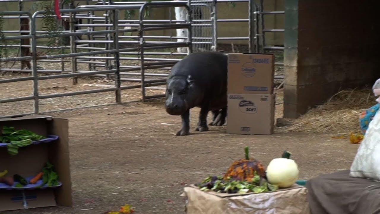 Pygmy hippo celebrates 47th birthday in San Diego