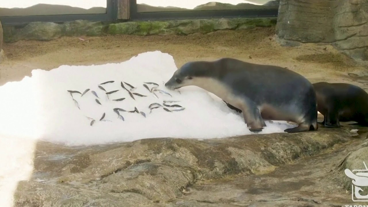 Animals at Sydney's zoo get into Christmas mood