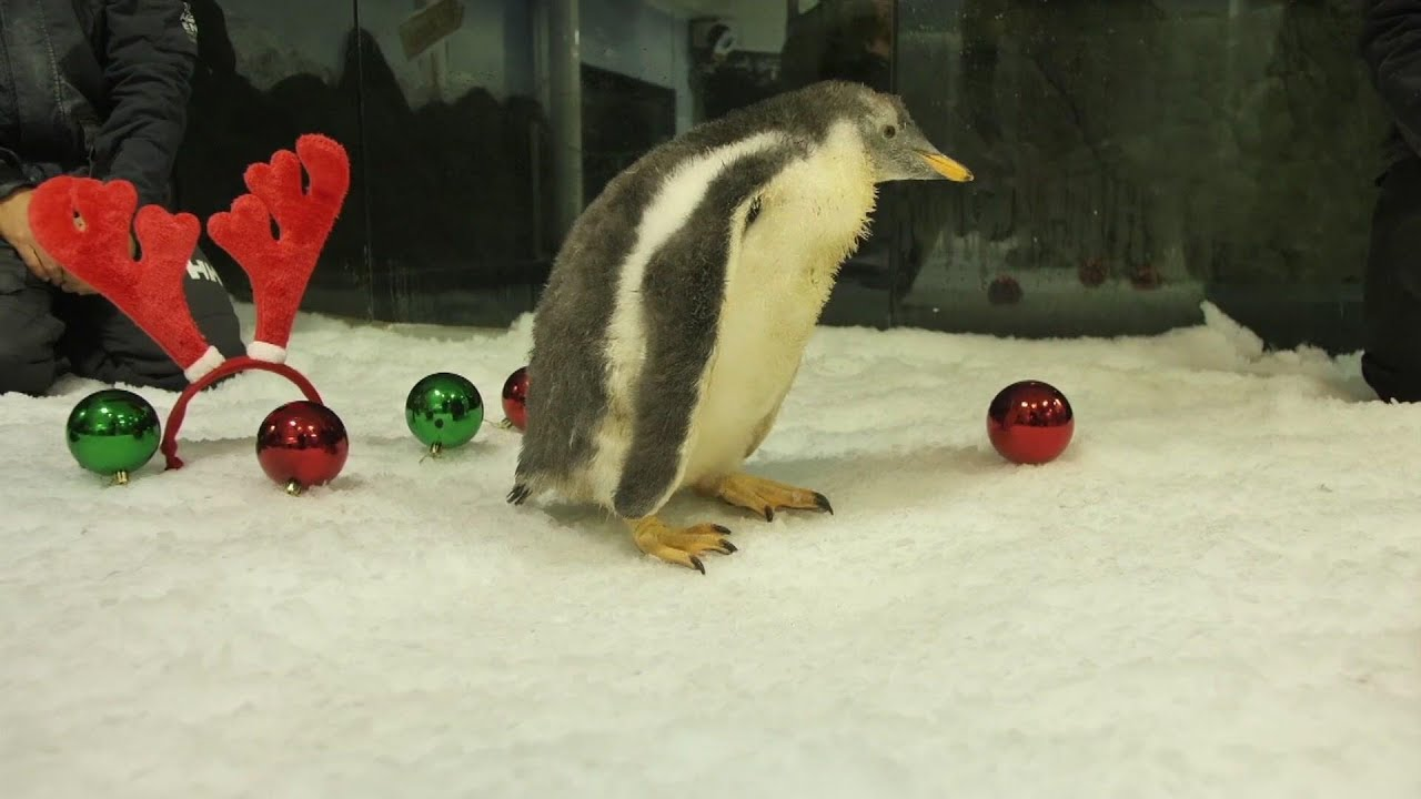Penguin chicks in Sydney ready for their first Xmas