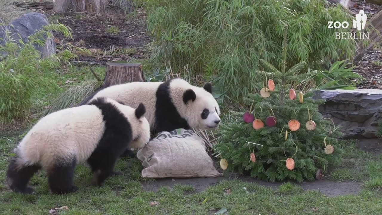 Animals at Berlin Zoo get Christmas treats