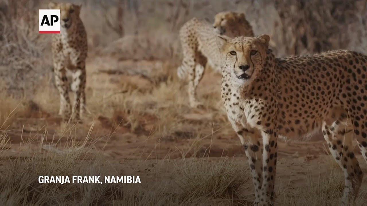 Rancheros de Namibia protejen becerros de guepardos