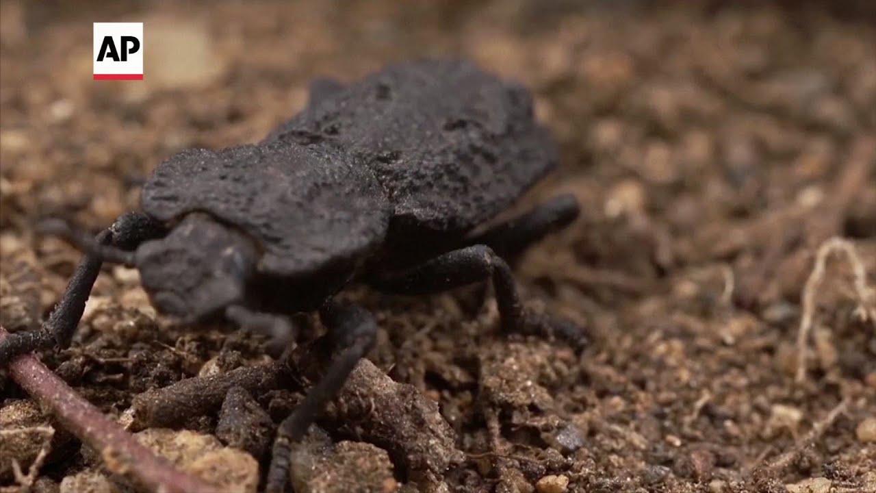 Armadura de escarabajo ofrece pistas para diseños más fuertes
