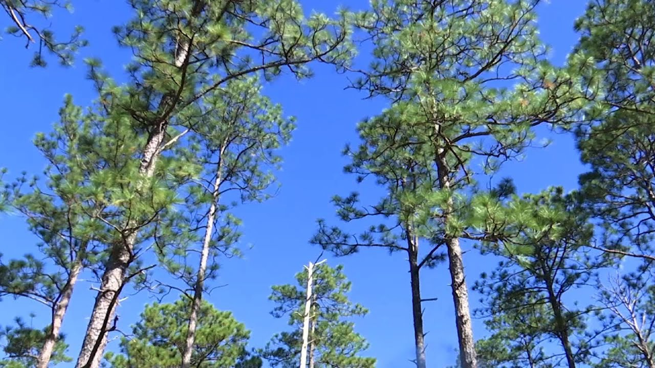 Recovery begins to restore longleaf pine forests