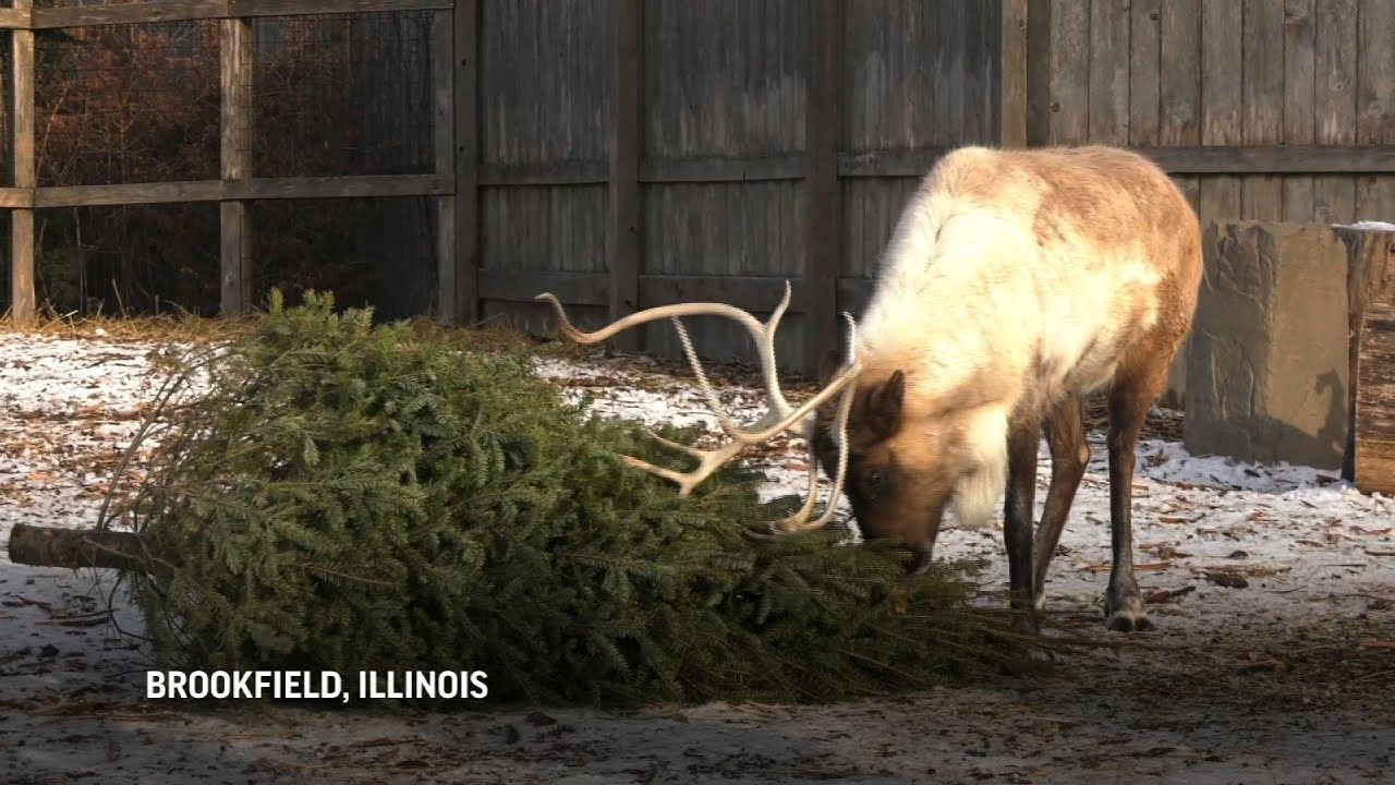 Zoo uses recycled Christmas trees as animal treats