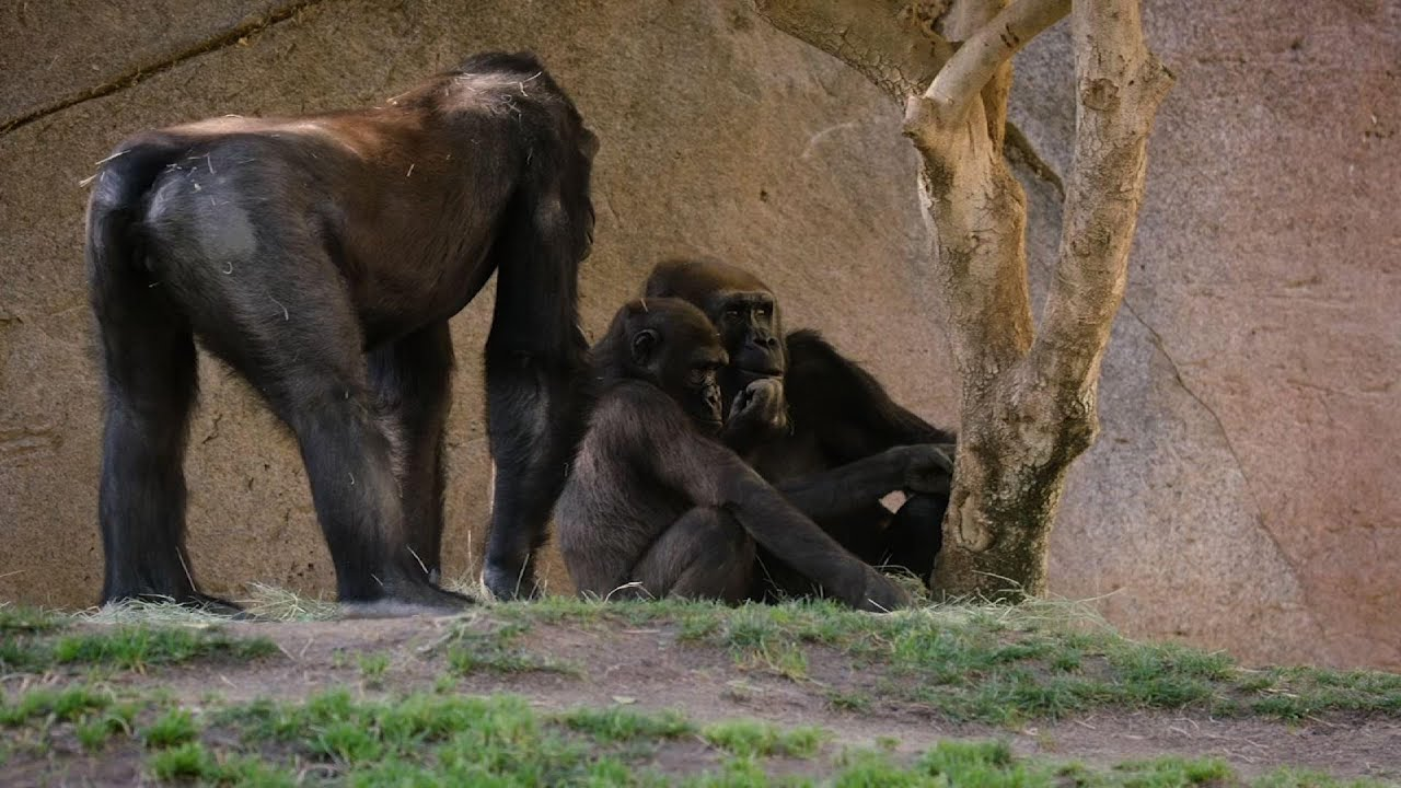 San Diego zoo's gorillas infected with COVID-19