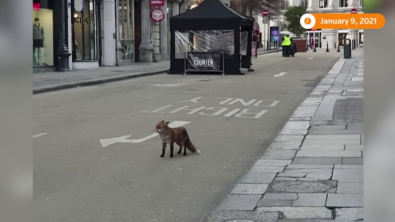 Fox roams empty streets of Dublin