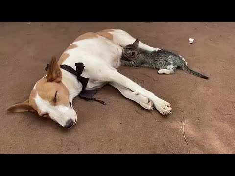 Kitten suckles nursing dog in Nigeria