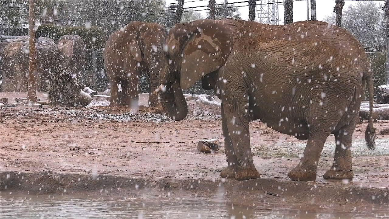 Elephants have unforgettable day in Arizona snow
