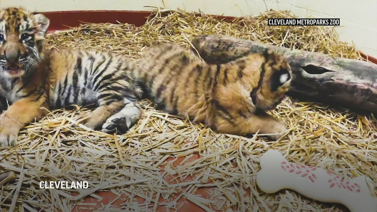Ohio zoo welcomes birth of 2 endangered tiger cubs