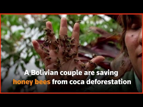 Bolivian couple saving honey bees from coca deforestation