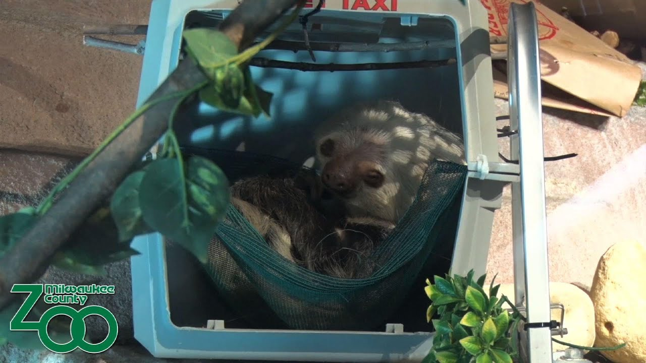 Sloth gets new suitor in time for Valentine's Day