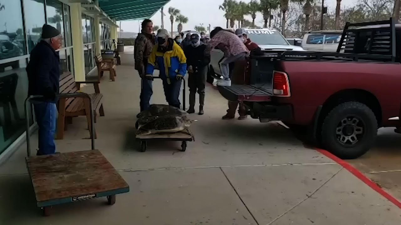 Thousands of cold-stunned turtles rescued in Texas