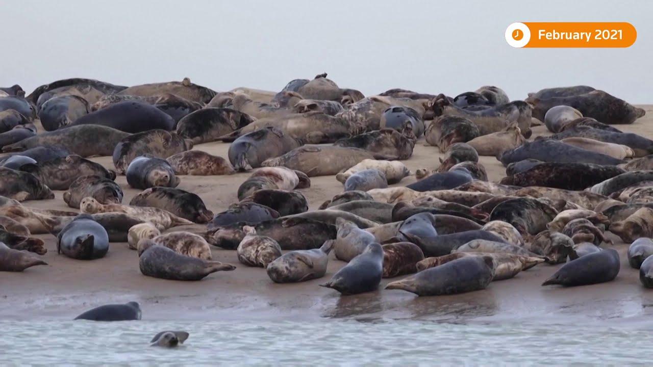 Seals stage a comeback on France's sea coast