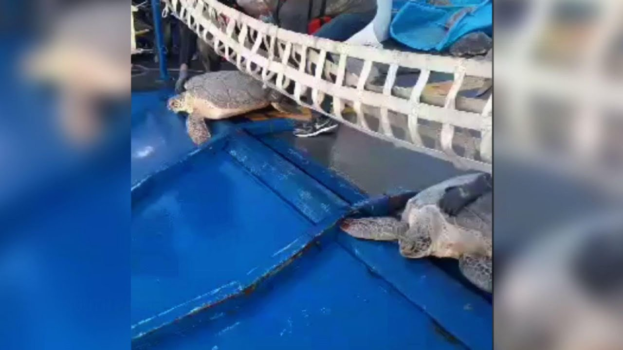 Turtles released back into Gulf after Texas freeze