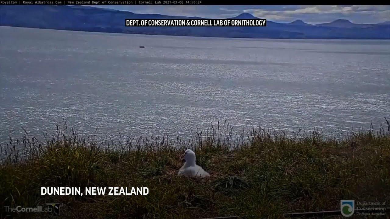 Albatross fails landing attempt at nature reserve