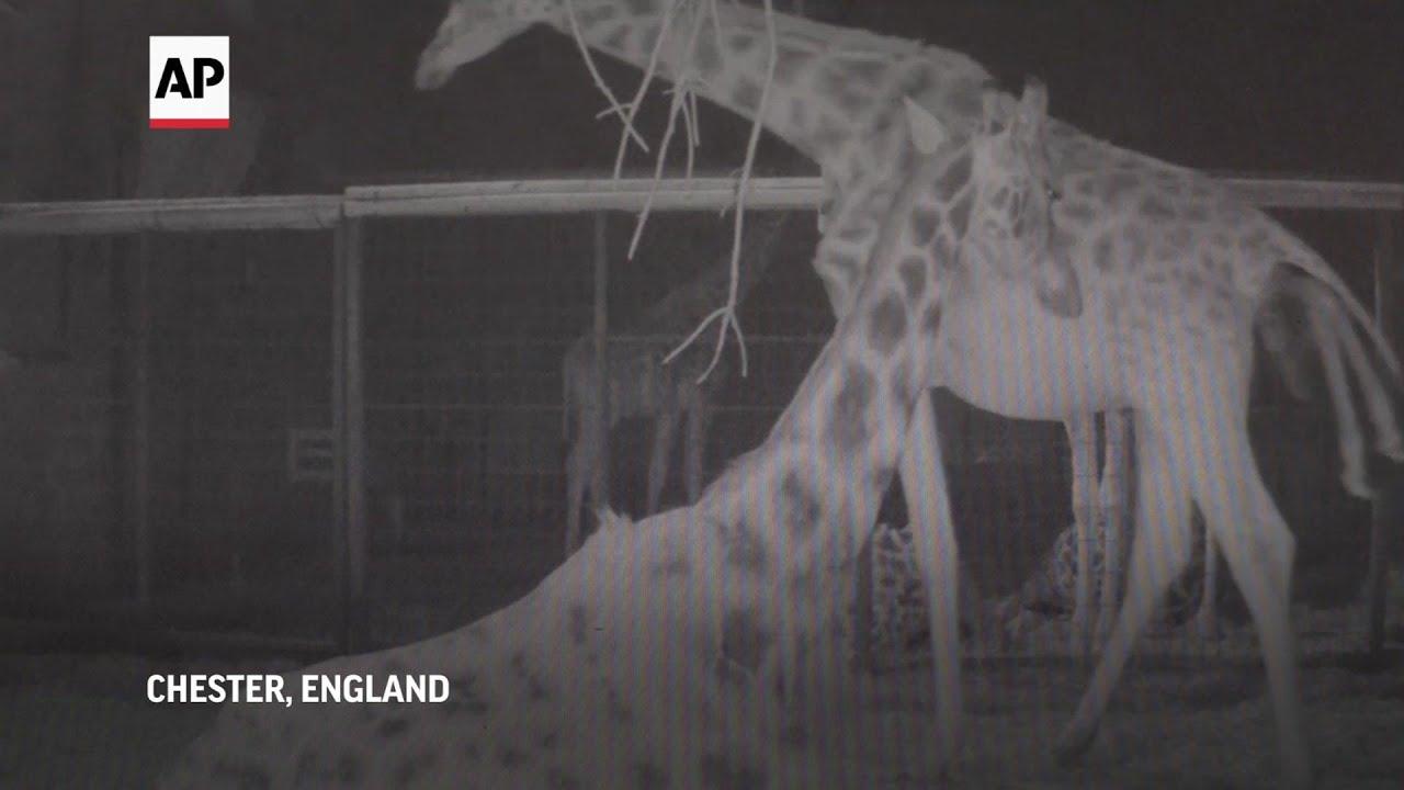 Chester Zoo welcomes new baby giraffe