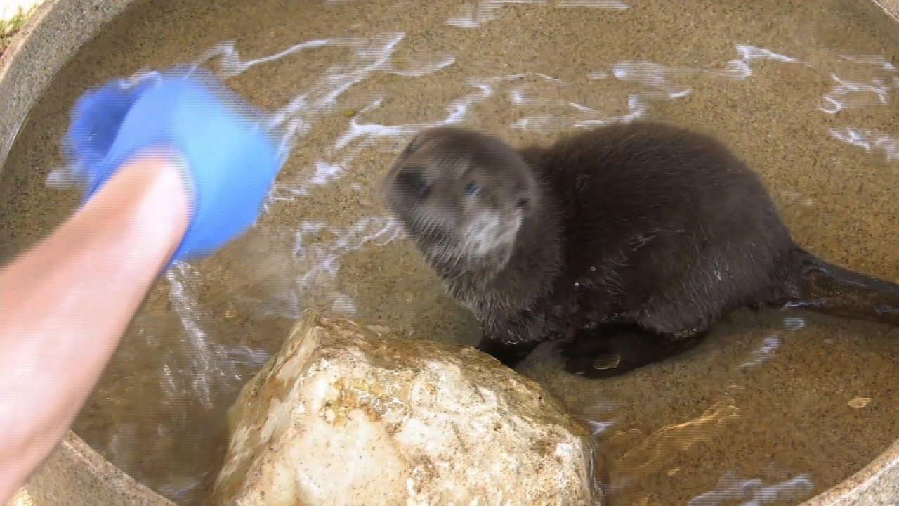 Meet Pascal: Illinois zoo names river otter pup
